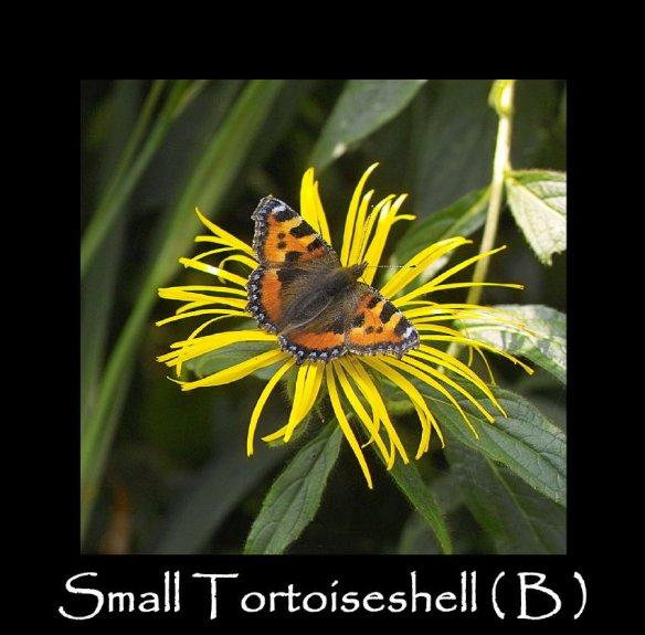 L Small Tortoiseshell ( B )