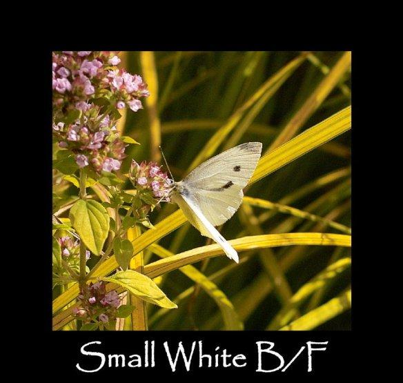L Small White (B F) (2)