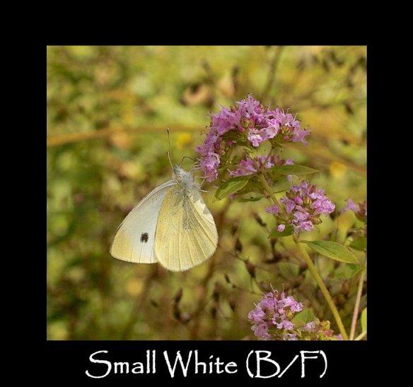 L Small White B F (2)
