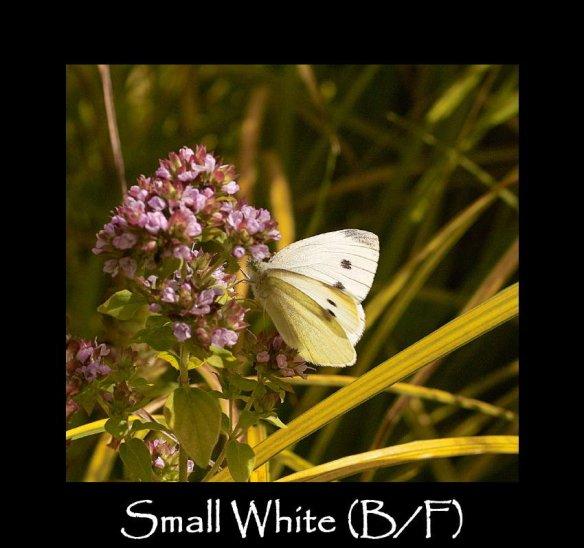 L Small White B F
