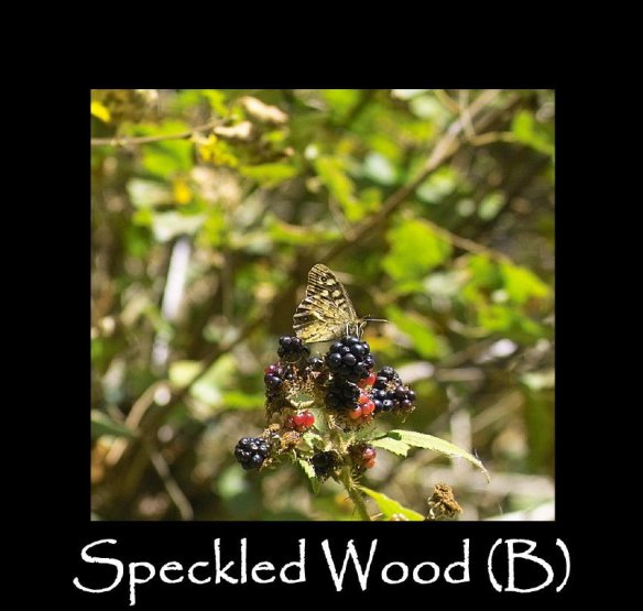 L Speckled Wood (B) 2 (2)