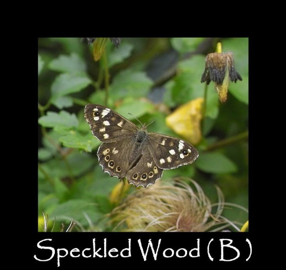 L Speckled Wood ( B ) (2)
