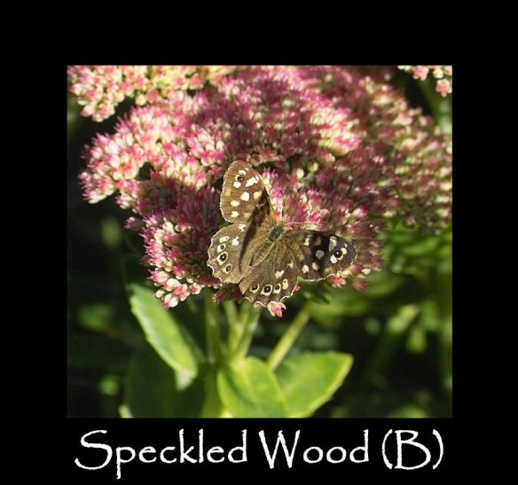 L Speckled Wood (B) 2