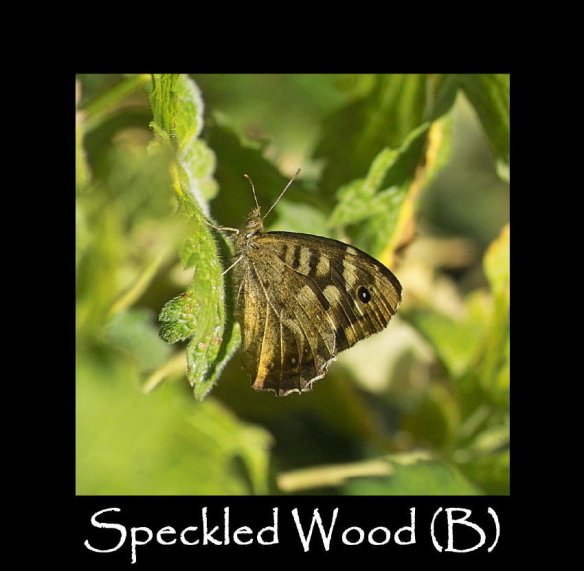 L Speckled Wood (B)