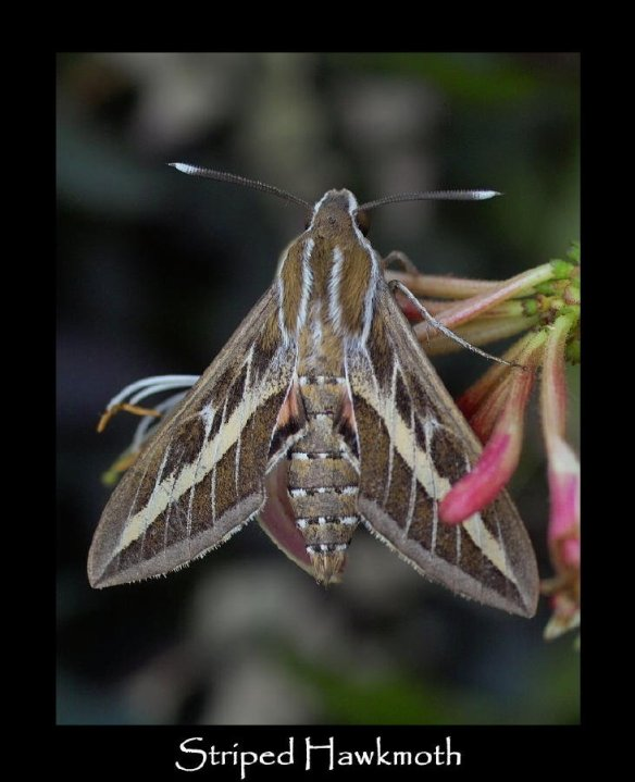 L Striped Hawkmoth