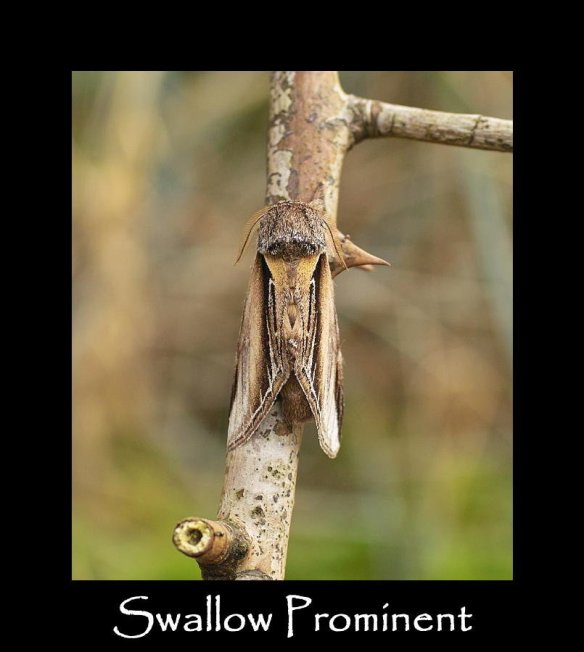 L Swallow Prominent (2) (2)