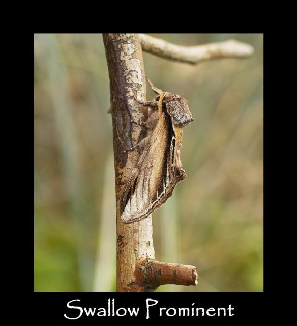 L Swallow Prominent (3)