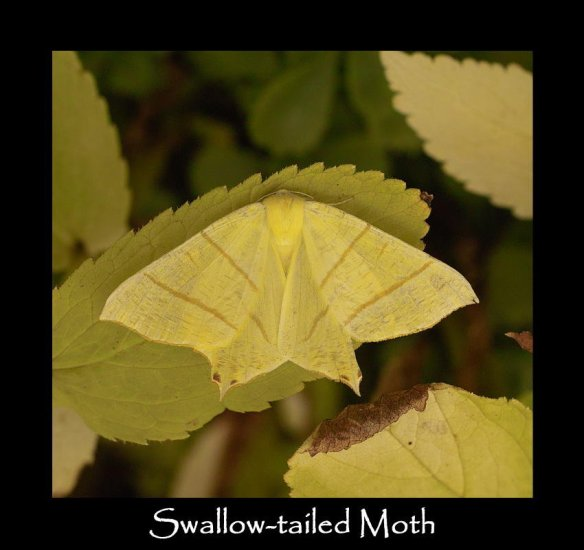 L Swallow-tailed Moth (2)