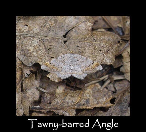 L Tawny-barred Angle (2)
