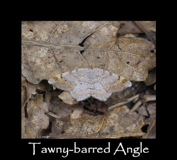 L Tawny-barred Angle