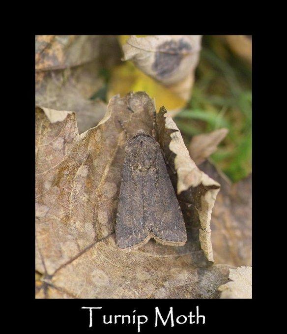 L Turnip Moth 2