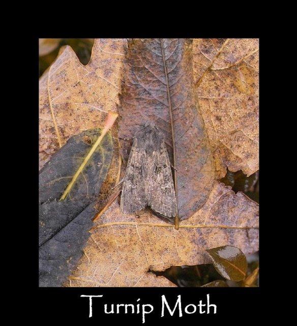 L Turnip Moth