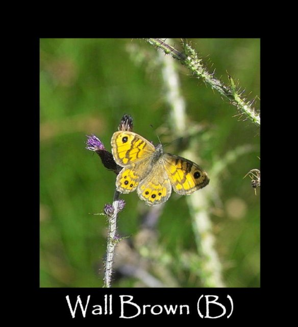 L Wall Brown (B) 2