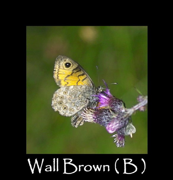 L Wall Brown ( B ) (2)