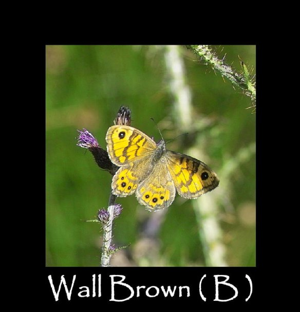 L Wall Brown ( B ) 3 (2)