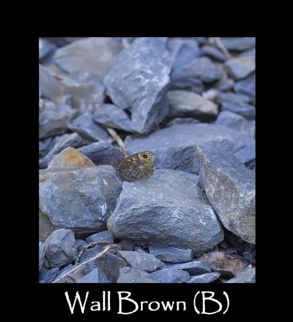 L Wall Brown (B)