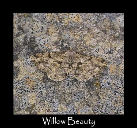 L Willow Beauty (3)