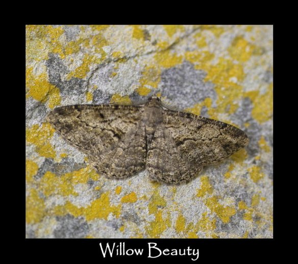 L Willow Beauty