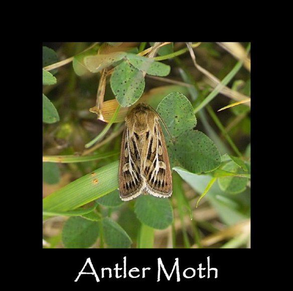M Antler Moth (2)