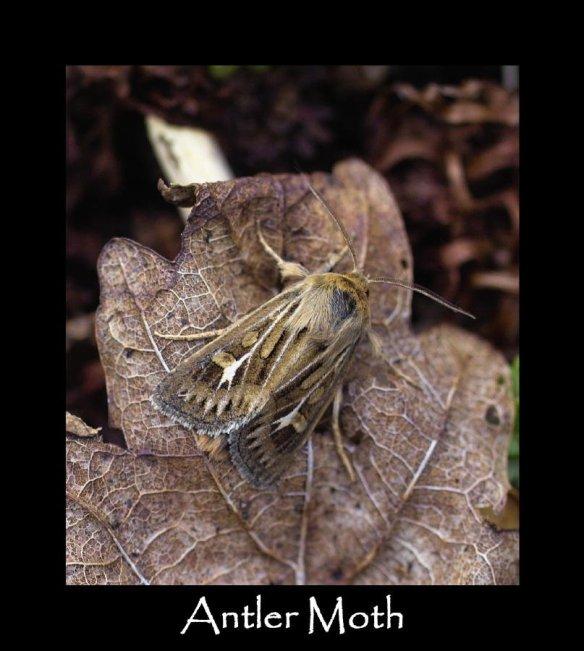 M Antler Moth