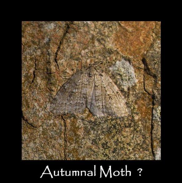 M Autumnal Moth