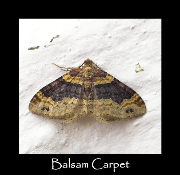 M Balsam Carpet (2)