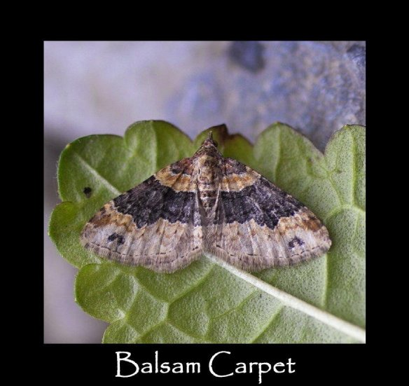 M Balsam Carpet