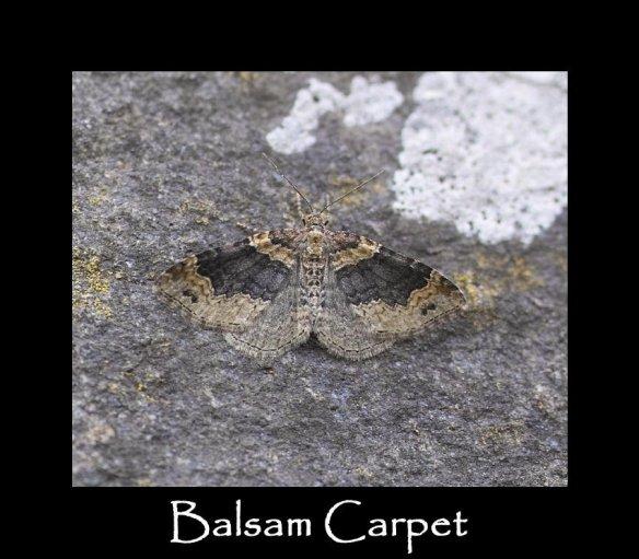 M Balsam Carpet