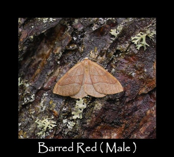 M Barred Red ( Male )