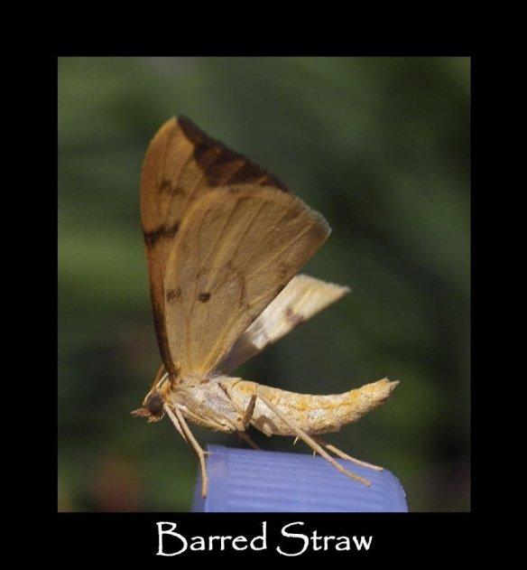 M Barred Straw 2 (2)