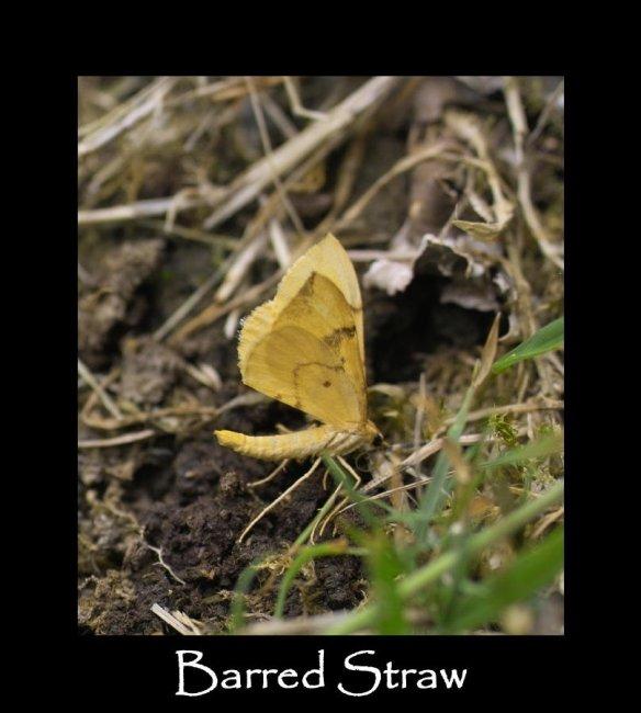 M Barred Straw 2