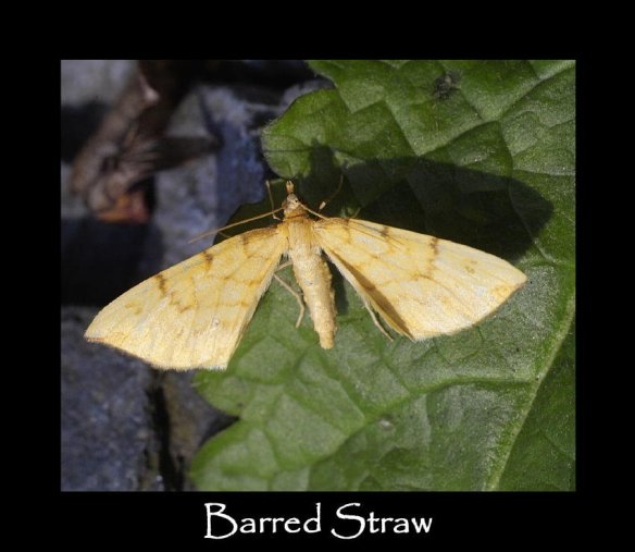 M Barred Straw (2)