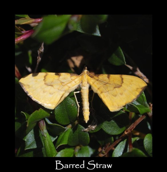M Barred Straw