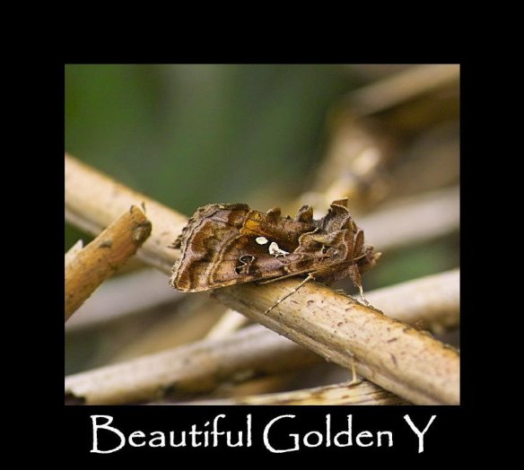 M Beautiful Golden Y (2)