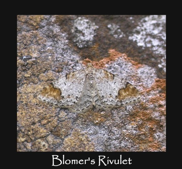 M Blomer's Rivulet