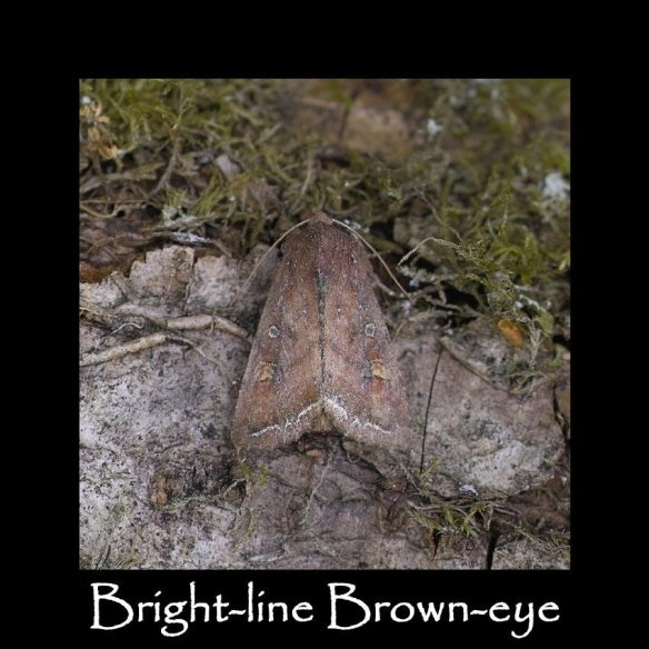 M Bright-line Brown-eye (2)