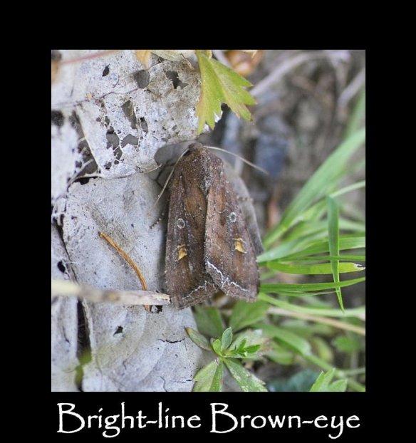 M Bright-line Brown-eye