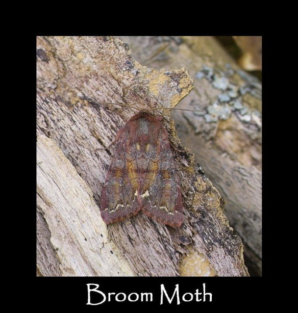 M Broom Moth