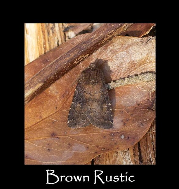 M Brown Rustic