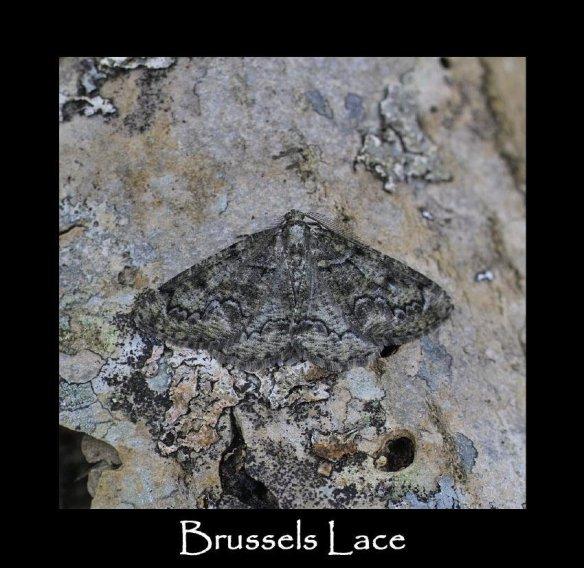 M Brussels Lace