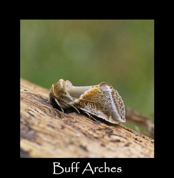 M Buff Arches