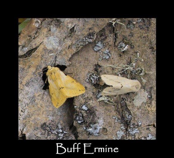 M Buff Ermine 2