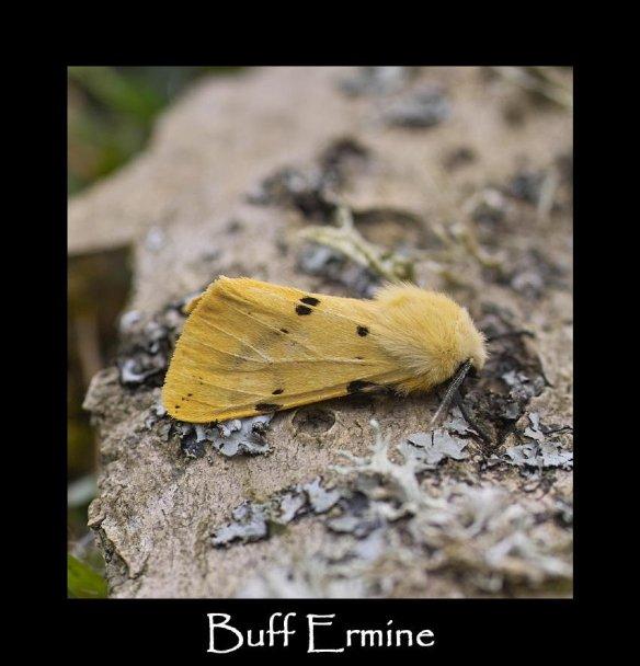 M Buff Ermine