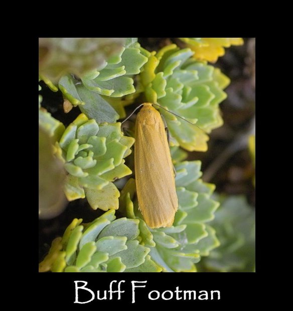 M Buff Footman (2)