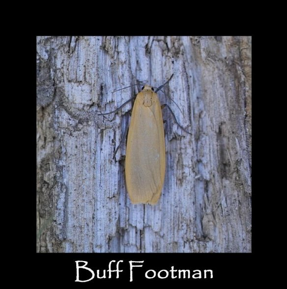 M Buff Footman