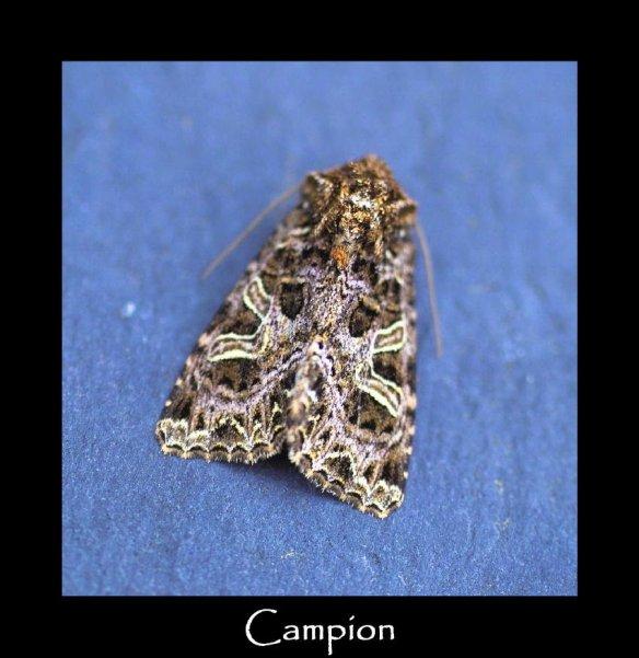 M Campion