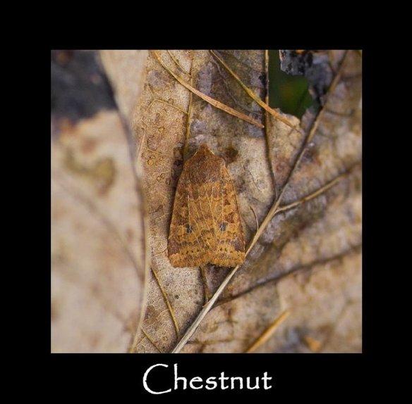 M Chestnut