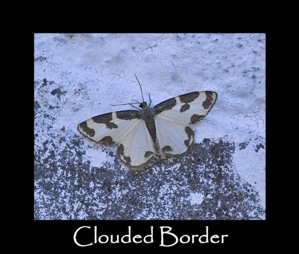 M Clouded Border (2)