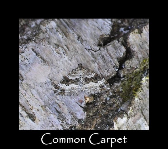 M Common Carpet