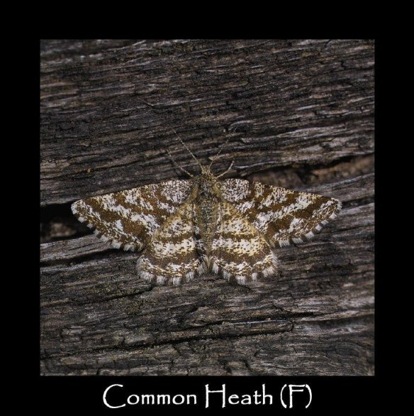 M Common Heath (F)